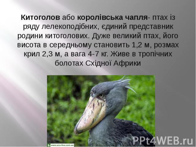 Китоголовабокоролівська чапля- птах із ряду лелекоподібних, єдиний представник родини китоголових. Дуже великий птах, його висота в середньому становить 1,2 м, розмах крил 2,3 м, а вага 4-7 кг. Живе в тропічних болотах Східної Африки