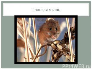 Поливая мышь