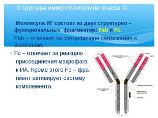 Моллекула ИГ состоит из двух структурно – функциональных фрагментов: Fab и Fc. М