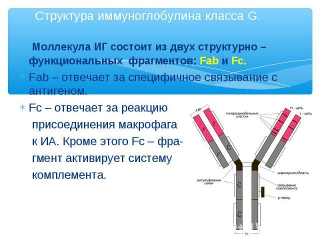 Моллекула ИГ состоит из двух структурно – функциональных фрагментов: Fab и Fc. Моллекула ИГ состоит из двух структурно – функциональных фрагментов: Fab и Fc. Fab – отвечает за специфичное связывание с антигеном. Fc – отвечает за реакцию присоединени…