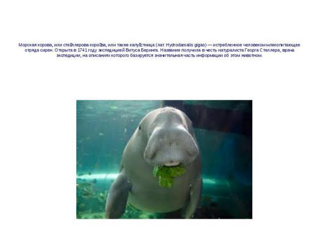 Морская корова, или сте ллерова коро ва, или также капу стница (лат. Hydrodamalis gigas) — истребленное человеком млекопитающее отряда сирен. Открыта в 1741 году экспедицией Витуса Беринга. Название получила в честь натуралиста Георга Стеллера, врач…