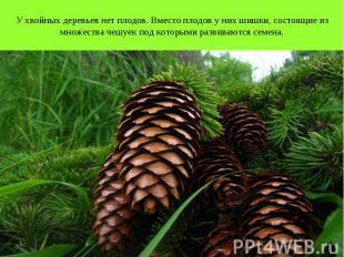 У хвойных деревьев нет плодов. Вместо плодов у них шишки, состоящие из множества