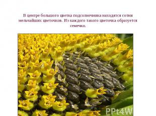 В центре большого цветка подсолнечника находятся сотни мельчайших цветочков. Из