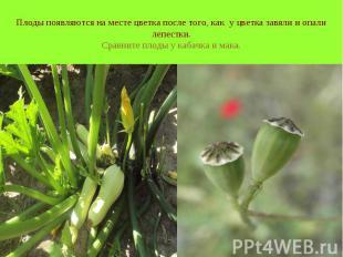 Плоды появляются на месте цветка после того, как у цветка завяли и опали лепестк