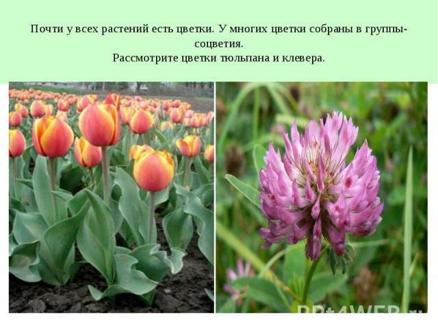 Почти у всех растений есть цветки. У многих цветки собраны в группы- соцветия.Рассмотрите цветки тюльпана и клевера.