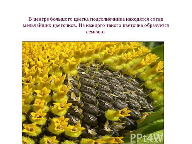 В центре большого цветка подсолнечника находятся сотни мельчайших цветочков. Из каждого такого цветочка образуется семечко.