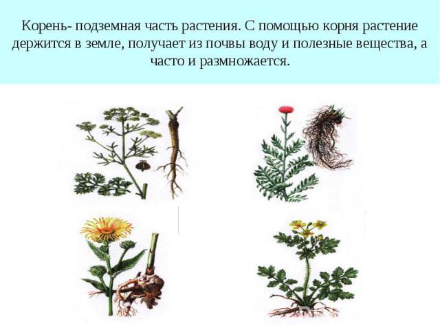 Корень- подземная часть растения. С помощью корня растение держится в земле, получает из почвы воду и полезные вещества, а часто и размножается.