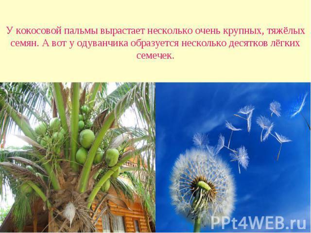 У кокосовой пальмы вырастает несколько очень крупных, тяжёлых семян. А вот у одуванчика образуется несколько десятков лёгких семечек.