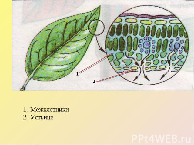 Межклетники Устьице