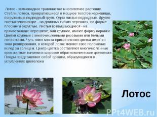 Лотос Лотос - земноводное травянистое многолетнее растение. Стебли лотоса, превр