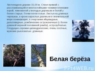Белая берёзаЛистопадное дерево 15-20 м. Ствол прямой с расслаивающейся многослой