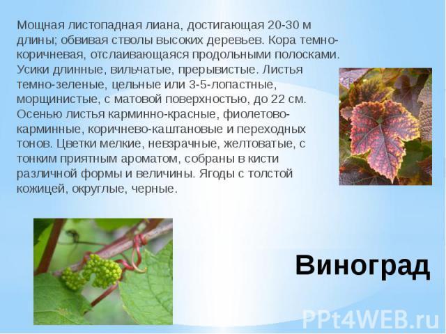 ВиноградМощная листопадная лиана, достигающая 20-30 м длины; обвивая стволы высоких деревьев. Кора темно-коричневая, отслаивающаяся продольными полосками. Усики длинные, вильчатые, прерывистые. Листья темно-зеленые, цельные или 3-5-лопастные, морщин…