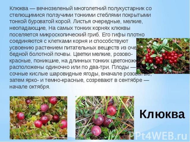КлюкваКлюква — вечнозеленый многолетний полукустарник со стелющимися ползучими тонкими стеблями покрытыми тонкой буроватой корой. Листья очередные, мелкие, неопадающие, На самых тонких корнях клюквы поселяется микроскопический гриб. Его гифы плотно …