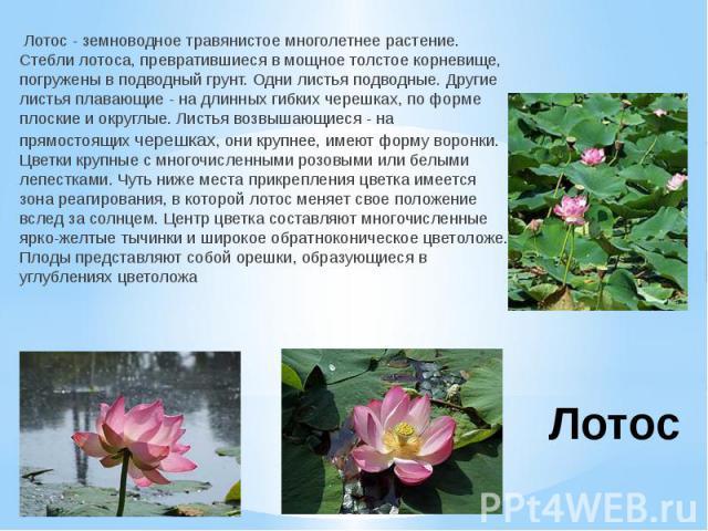 Лотос Лотос - земноводное травянистое многолетнее растение. Стебли лотоса, превратившиеся в мощное толстое корневище, погружены в подводный грунт. Одни листья подводные. Другие листья плавающие - на длинных гибких черешках, по форме плоские и округл…