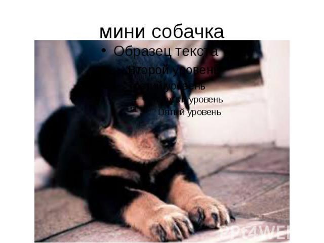 мини собачка