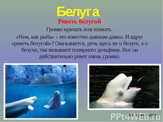 БелугаРеветь белугойГромко кричать или плакать.«Нем, как рыба» - это известно давным-давно. И вдруг «реветь белугой»? Оказывается, речь здесь не о белуге, а о белухе, так называют полярного дельфина. Вот он действительно ревет очень громко.