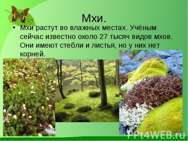 Мхи растут во влажных местах. Учёным сейчас известно около 27 тысяч видов мхов. Они имеют стебли и листья, но у них нет корней. Мхи растут во влажных местах. Учёным сейчас известно около 27 тысяч видов мхов. Они имеют стебли и листья, но у них нет корней.