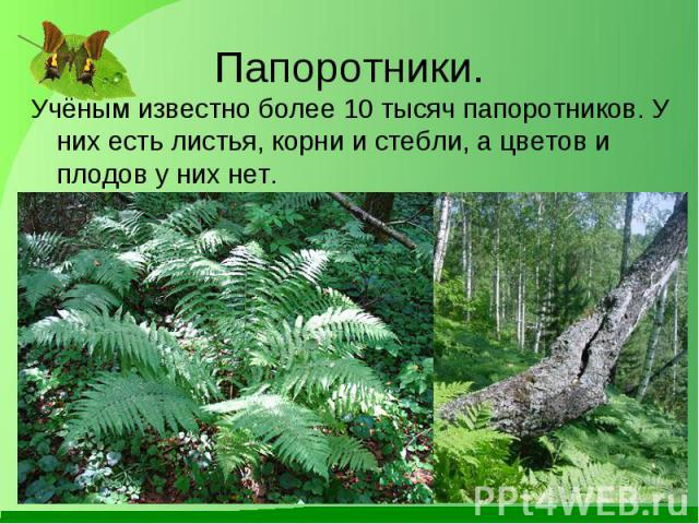 Учёным известно более 10 тысяч папоротников. У них есть листья, корни и стебли, а цветов и плодов у них нет. Учёным известно более 10 тысяч папоротников. У них есть листья, корни и стебли, а цветов и плодов у них нет.