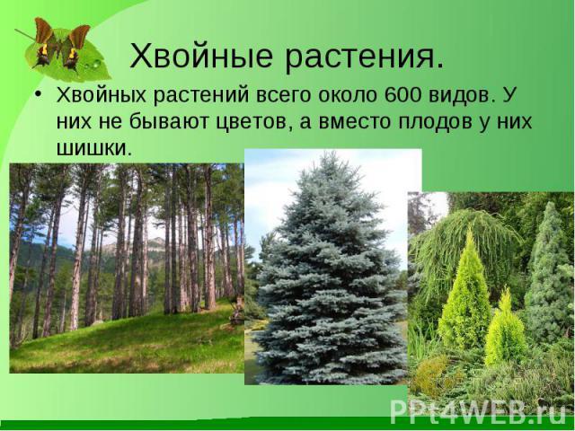 Хвойных растений всего около 600 видов. У них не бывают цветов, а вместо плодов у них шишки. Хвойных растений всего около 600 видов. У них не бывают цветов, а вместо плодов у них шишки.