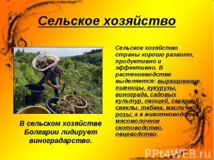 В сельском хозяйстве Болгарии лидирует виноградарство. В сельском хозяйстве Болг