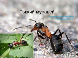 Рыжий муравей Выполнила Братышева ДианаУчитель: Братышева Н.С.