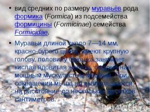 вид средних по размеру муравьёв рода формика (Formica) из подсемейства формицины