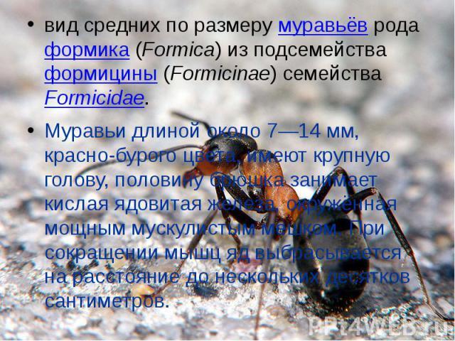 вид средних по размеру муравьёв рода формика (Formica) из подсемейства формицины (Formicinae) семейства Formicidae.Муравьи длиной около 7—14мм, красно-бурого цвета, имеют крупную голову, половину брюшка занимает кислая ядовитая железа, окружённая м…