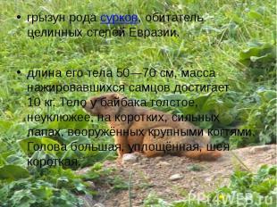 грызун рода сурков, обитатель целинных степей Евразии.длина его тела 50—70см, м