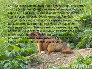 От других сурков байбака легко отличить по короткому хвосту (не более 15 см) и о