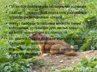 Питаются байбаки растительными кормами.Байбак— природный обитатель равнинных зл