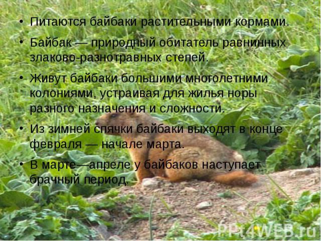 Питаются байбаки растительными кормами.Байбак— природный обитатель равнинных злаково-разнотравных степей.Живут байбаки большими многолетними колониями, устраивая для жилья норы разного назначения и сложности.Из зимней спячки байбаки выходят в конце…