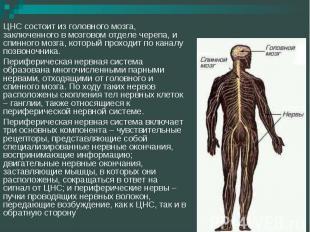 ЦНС состоит из головного мозга, заключенного в мозговом отделе черепа, и спинног