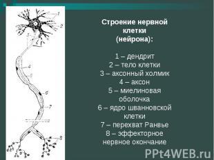Строение нервной клетки(нейрона):1 – дендрит2 – тело клетки3 – аксонный холмик4