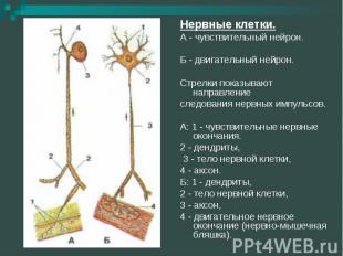 Нервные клетки.А - чувствительный нейрон. Б - двигательный нейрон. Стрелки показ