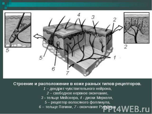 Строение и расположение в коже разных типов рецепторов. 1 – дендрит чувствительного нейрона, 2 – свободное нервное окончание, 3 - тельце Мейснера, 4 - диски Меркеля, 5 – рецептор волосяного фолликула, 6 – тельце Пачини, 7 - окончание Руффини