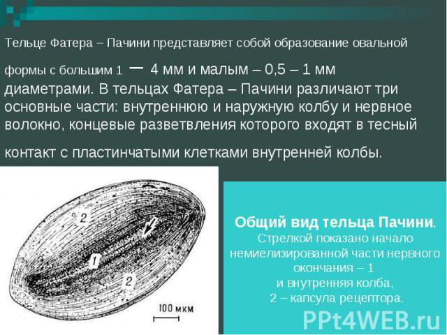Тельце Фатера – Пачини представляет собой образование овальной формы с большим 1 – 4 мм и малым – 0,5 – 1 мм диаметрами. В тельцах Фатера – Пачини различают три основные части: внутреннюю и наружную колбу и нервное волокно, концевые разветвления кот…
