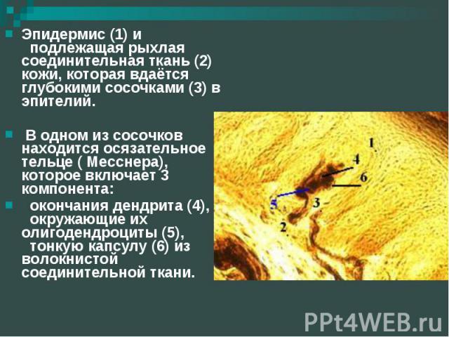 Эпидермис (1) и подлежащая рыхлая соединительная ткань (2) кожи, которая вдаётся глубокими сосочками (3) в эпителий. В одном из сосочков находится осязательное тельце ( Месснера), которое включает 3 компонента: окончания дендрита (4), окружающие их …