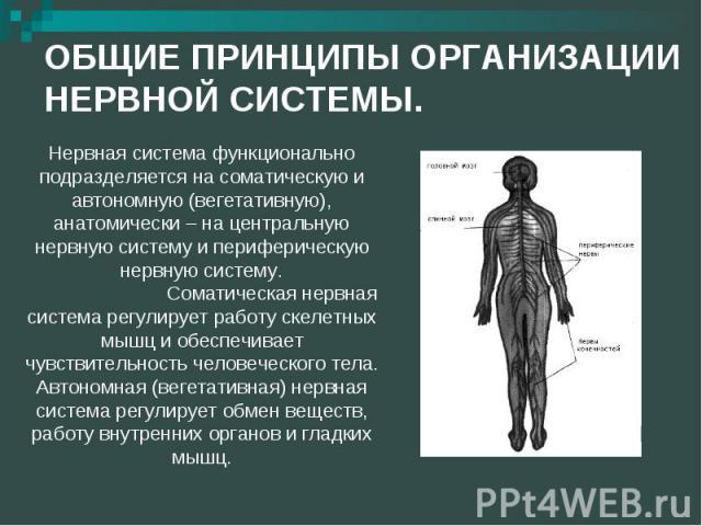 ОБЩИЕ ПРИНЦИПЫ ОРГАНИЗАЦИИ НЕРВНОЙ СИСТЕМЫ. Нервная система функционально подразделяется на соматическую и автономную (вегетативную), анатомически – на центральную нервную систему и периферическую нервную систему.Соматическая нервная система регулир…