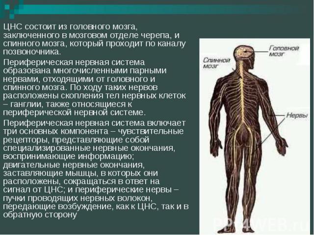 ЦНС состоит из головного мозга, заключенного в мозговом отделе черепа, и спинного мозга, который проходит по каналу позвоночника.Периферическая нервная система образована многочисленными парными нервами, отходящими от головного и спинного мозга. По …