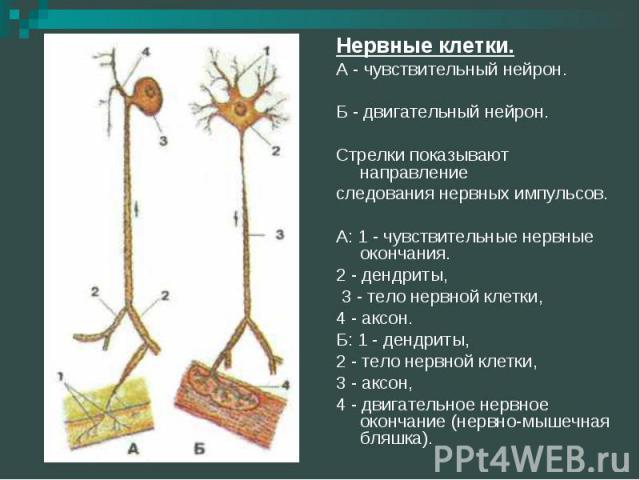 Нервные клетки.А - чувствительный нейрон. Б - двигательный нейрон. Стрелки показывают направлениеследования нервных импульсов. А: 1 - чувствительные нервные окончания. 2 - дендриты, 3 - тело нервной клетки,4 - аксон.Б: 1 - дендриты, 2 - тело нервной…