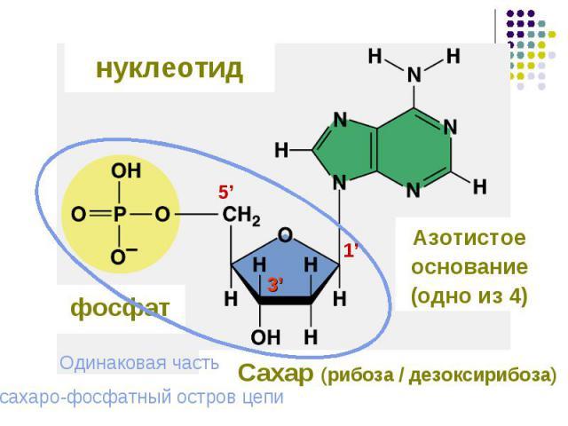 нуклеотид фосфат Азотистое основание (одно из 4) Одинаковая часть сахаро-фосфатный остров цепи Сахар (рибоза / дезоксирибоза)