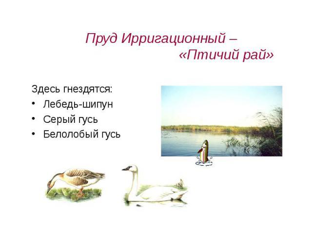 Пруд Ирригационный – «Птичий рай» Здесь гнездятся:Лебедь-шипунСерый гусьБелолобый гусь