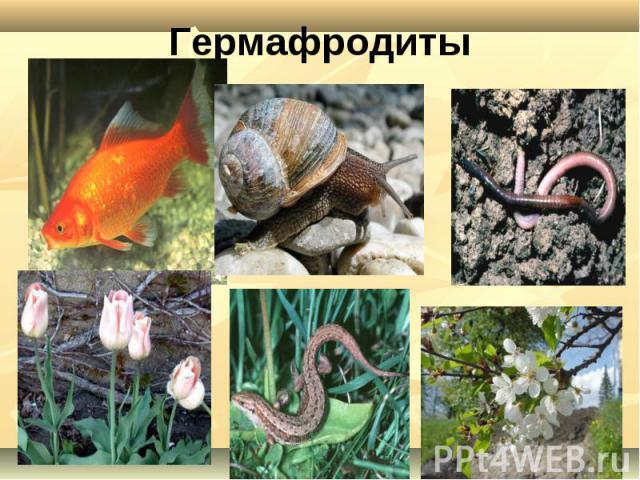 Гермафродиты