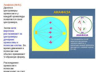 Анафаза (4n4c). Делятся центромеры хромосом и у каждой хроматиды появляется своя