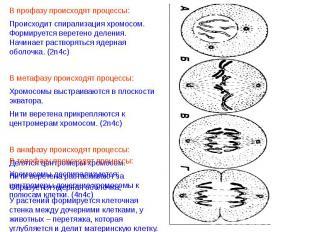 В профазу происходят процессы:Происходит спирализация хромосом. Формируется вере