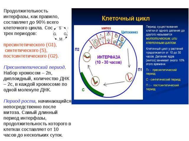 Продолжительность интерфазы, как правило, составляет до 90% всего клеточного цикла. Состоит из трех периодов: пресинтетического (G1), синтетического (S), постсинтетического (G2). Пресинтетический период. Набор хромосом – 2n, диплоидный, количество Д…