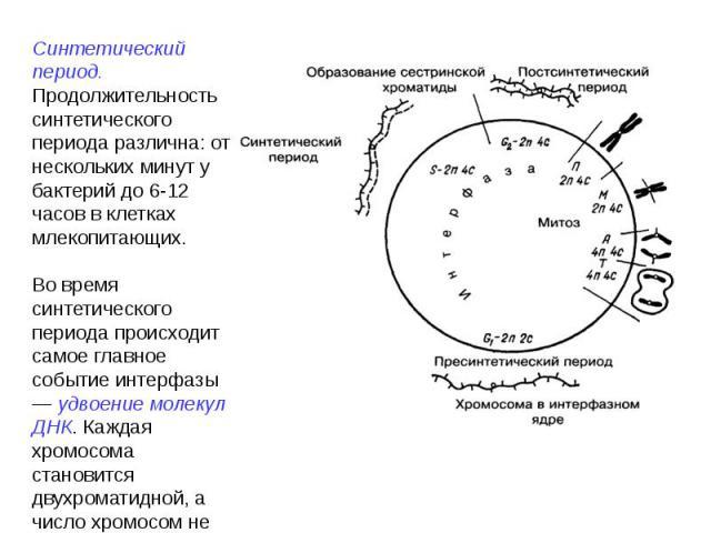 Синтетический период. Продолжительность синтетического периода различна: от нескольких минут у бактерий до 6-12 часов в клетках млекопитающих.Во время синтетического периода происходит самое главное событие интерфазы — удвоение молекул ДНК. Каждая х…