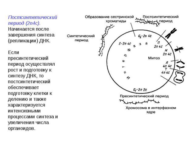 Постсинтетический период (2n4c). Начинается после завершения синтеза (репликации) ДНК.Если пресинтетический период осуществлял рост и подготовку к синтезу ДНК, то постсинтетический обеспечивает подготовку клетки к делению и также характеризуется инт…