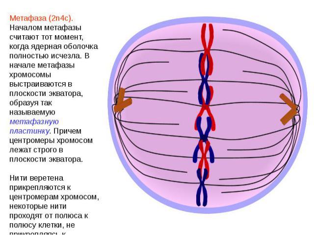 Метафаза (2n4c). Началом метафазы считают тот момент, когда ядерная оболочка полностью исчезла. В начале метафазы хромосомы выстраиваются в плоскости экватора, образуя так называемую метафазную пластинку. Причем центромеры хромосом лежат строго в пл…