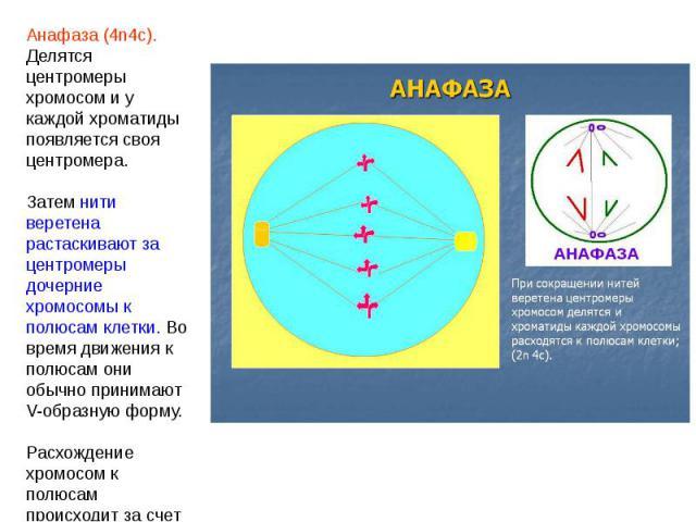 Анафаза (4n4c). Делятся центромеры хромосом и у каждой хроматиды появляется своя центромера. Затем нити веретена растаскивают за центромеры дочерние хромосомы к полюсам клетки. Во время движения к полюсам они обычно принимают V-образную форму.Расхож…